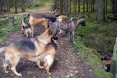 Härliga hundpromenader med egna och andras hundar